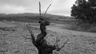 Vignes-Cazelles-2